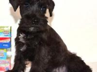 2 male Miniature Schnauzer puppies. 2 Black/silver $350
