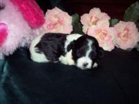 Description Shih Tzu's born May 15. Shih-Poo's born May
