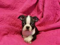 These CKC Registered Boston terrier young puppies are