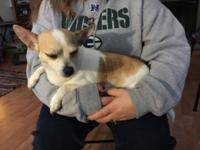 Adult female CKC registered chihuahua. She is a sweet