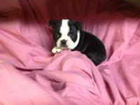 Beautiful Female Boston Terrier puppy. She is ready to