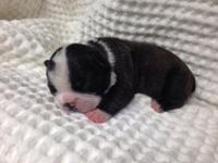 Male Boston Terrier puppies offered. Mother is stocky