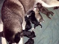 Brand new litter of pomskies puppies. We have grey and