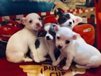 Hi I'm selling four beautifu.l chihuahuas. I have 3
