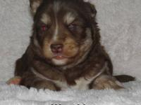 Siberian Husky puppies, CKC registered. Four beautiful