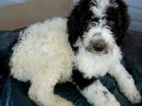 I have 5 beautiful standard poodle puppies that are
