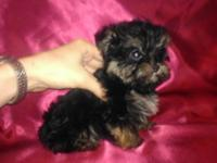 This is a pleasant and quite lovely little Yorkie-poo