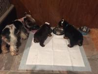 I have a male Yorkie puppy ckc registered first set of