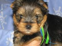 Gorgeous Yorkie puppy, male 7 weeks old. Born on