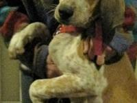 Claire is an adorable redtick English Coonhound puppy