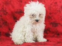 Clara is a docile little Maltipoo girl who likes to