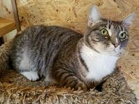 Clara's story Clara is a beautiful young adult bobtail