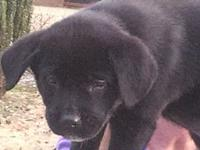 "Clarice's story ""Hello, I am Clarice, a black lab puppy"