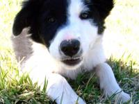 Wonderful Border Collie Male Puppy for sale. 13 weeks