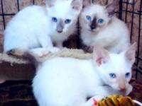 A new litter of Siamese Classic kittens is ready for