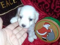 Snowden is a BEAUTIFUL little white Coton de. Tulear