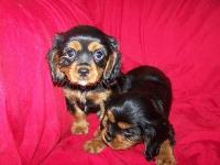 AKC black and tan babies. First shots, vet checked,