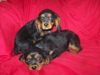 AKC black and tan boys. First shots, vet checked,