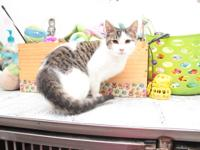 Claudia, 4 month old DSH, 4.3lbs. Spayed/Female
