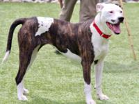 Meet Clay! Clay is a female American Bulldog mix who is