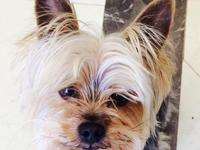 Animal Type: Dogs I have a litter of AKC Yorkie Puppy,