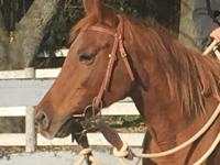 Clementine is an adorable chestnut Quarterhorse type