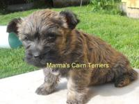 Cleo is one of the puppies due in our next litter -