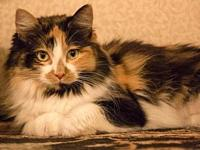 Cleo's story * Female Domestic Longhair  mix *