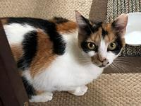 Cleo's story Cleo is a beautiful calico with vibrant