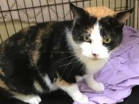 Cleopatra 2 years old DSH/Spayed Female See this kitty