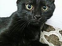 Clint's story Clint is a male black kitten, born on