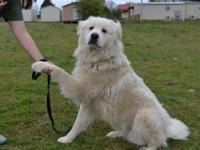 Cloud is a handsome 2 year old Great Pyrenees, weighing