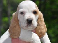 Clover is a sweet Lemon and white Basset hound. He was