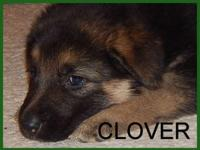 Clover is a very nice female puppy. She has a very good