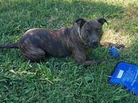 My story Clover is a stunning brindle babe! She is