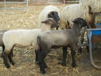 Club lambs for sale form many known