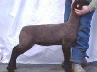 Club Lambs for sale great for area county fairs and