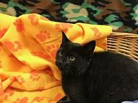 Clue's story Clue is a black male Domestic Shorthair.