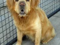 Clumber Spaniel - Chumley - Medium - Adult - Male -