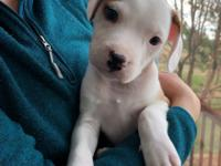 Clyde is an 8 week old mixed breed! This puppy has been