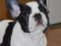 Animal Type: Dogs Breed: French Bulldog cmnvvj dhgfhf