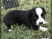 Ranch Raised ASDR Toy and Mini Australian Shepherd