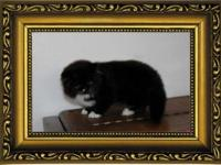 Persian Kitten Black and White Bi-color C.F.A. Raised