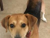 I am a male Beagle/Lab mix.  I am about 4 years old and