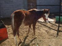 Description i have for sale a one year old paint horse