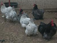 Quality pure bred Cochin Bantam chicks, best little pet