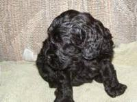 6 week Cockapoo puppy available at 8 weeks of age. She
