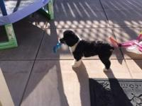 Selling a 1 year old male Cockapoo. Cocker spaniel and