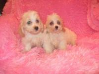 We have avail for their new homes five little cockapoo