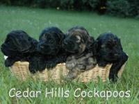 Our first-generation cockapoo puppies are raised in the